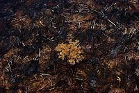 """Apuí, Amazonas 30-08-2008 Arvore florida em meio a área desmatada no dos municipios que mais teve a floresta queimada no sul do Amazonas. A série """"Uma certa Amazônia"""" realizada durante a primeira década do século  21, quando os eventos extremos de cheia e vazante na Amazônia revelaram que algo de muito errado está acontecendo com o clima do planeta. Mudanças cada vez mais drásticas no regime das águas da bacia dos rios Negro e Solimões provocaram impactos como a fome, sede, doenças e mortandade de animais. O cotidiano das populações tradicionais e a paisagem amazônica mudaram definitivamente. Uma situação de extremos, onde as vazantes estão, a cada ano, se transformando em catástrofes e as cheias mostrando-se cada vez mais trágicas. Este cenário que a cada vez mais perde áreas de florestas para o agronégocio, principalmente  as plantações de soja e milho, assim como a criação de gado, além da pressão sofrida pela industria madereira em áreas de preservação permanente e também em terras indígenas, além  da exploração mineral e a ameaça pelas grandes obras de infra-estrutura do governo brasileiro fazem da Amazônia um dos ecossistemas mais frágeis perante a ação do homem."""