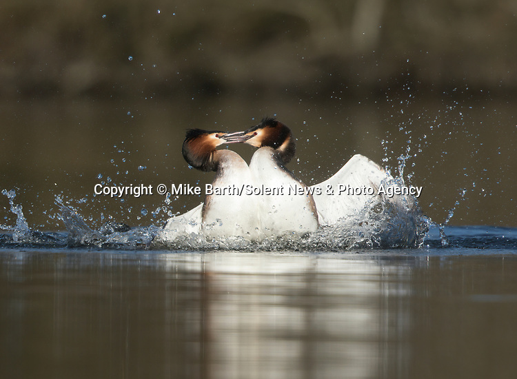 Two great crested grebes fight on a reservoir over the affections of an onlooking female.  The lone male provoked the courting pair by continually calling and approaching them, before the paired male attacked the intruder.<br /> <br /> The aggressive battle lasted around 20 seconds before the solo male retreated to the other side of the water - uninjured but with damaged pride.  The photos were captured by amateur photographer Mike Barth at the Sutton Reservoir near Macclesfield, in the northwestern county of Cheshire.  SEE OUR COPY FOR DETAILS.<br /> <br /> Please byline: Mike Barth/Solent News<br /> <br /> © Mike Barth/Solent News & Photo Agency<br /> UK +44 (0) 2380 458800