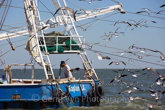 Louisiana shrimp trawler dumping bycatch overboard as Laughing Gulls trail and reap the rewards. American shrimp trawlers produce bycatch ratios between 3:1 (3 bycatch:1 shrimp) and 15:1(15 bycatch:1 shrimp). Cocodrie, Louisiana. October.