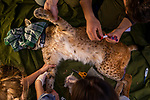 Balkan Lynx (Lynx lynx balcanicus) biologists, Lilli Middelhoff, Eko Veapi, Alexander Pavlov, and veterinarian, Ivana Arsovska, taking blood during collaring of female, Mavrovo National Park, North Macedonia