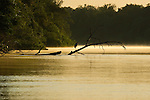 A great blue heron perches on a fallen tree laying in the river as the sun rises in the Pantanal, Mato Grosso, Brazil.