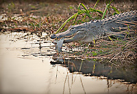 Alligator with fish in it's mouth going in to the water