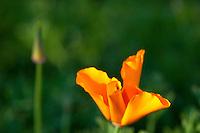 Rancho Santa Anna Botanical Gardens, California (Color)