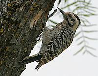 Ladder-backed woodpecker adult female at nest hole