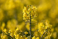 Oil seed rape in flower - Lincolnshire, May