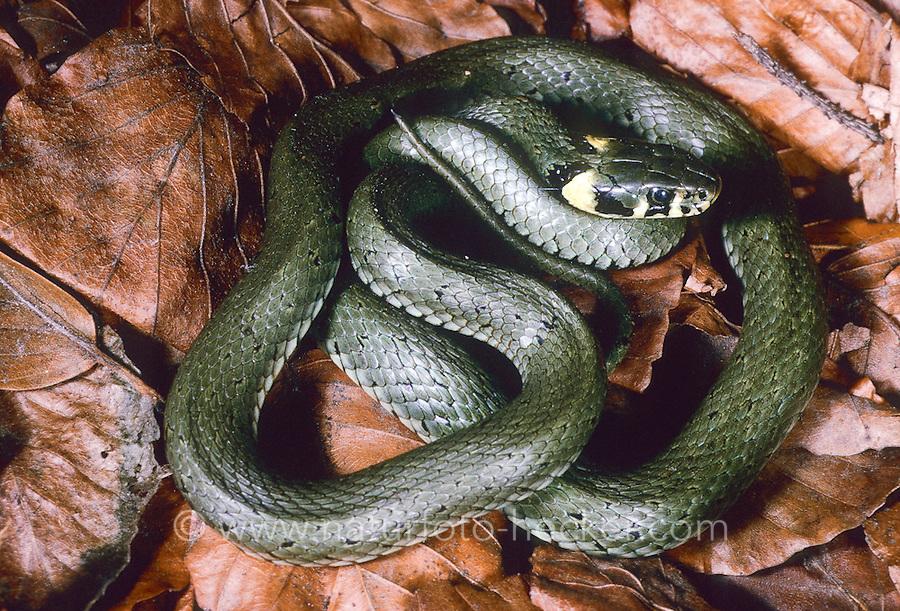 Ringelnatter, Ringel-Natter, Natter, Natrix natrix, grass snake