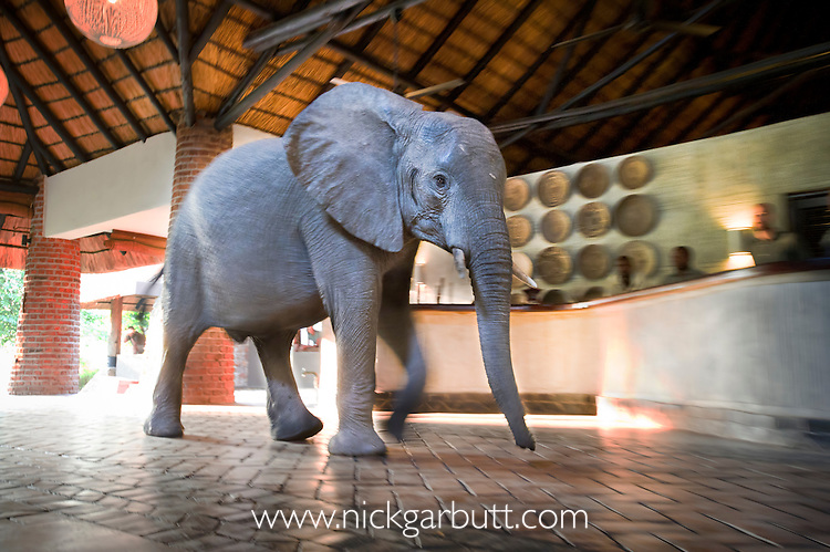 Adolescent African Elephant (Loxodonta africana) walking through reception at Mfuwe Lodge, South Luangwa National Park, Zambia. Following traditional migration / feeding route to wild mango trees in the lodge grounds.