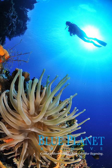 silhouette of scuba diver, anemone on wall, Cozumel, Mexico, Caribbean, Atlantic