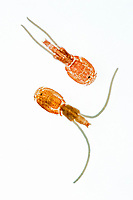 parasitic copepods, unidentified, captured from the outer skin of mahi mahi, common dolphinfish or dorado, Hawaii, Pacific Ocean