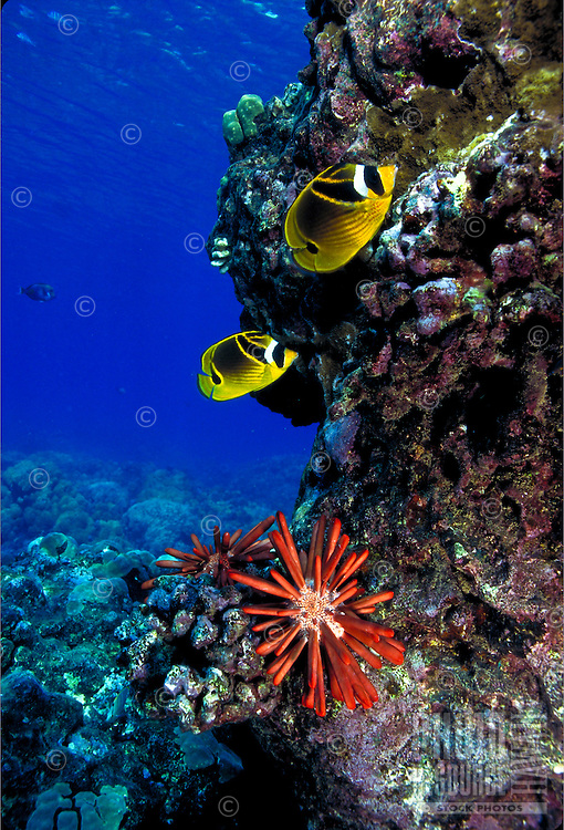 Racoon butterfly fish w/ pencil sea urchin near coral reef in Pacific ocean