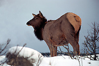 Canadian Rockies, Canada - Elk Cow, Wapiti (Cervus canadensis) standing in Meadow, Winter