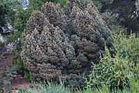 Pinus quadrifolia  - Four-leaved Pinyon Pine, California native tree at Rancho Santa Ana Botanic Garden