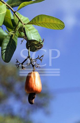 Amazonia, Brazil. Cashew fruit 'Caju' (Anacardium occidentale) growing on a tree.