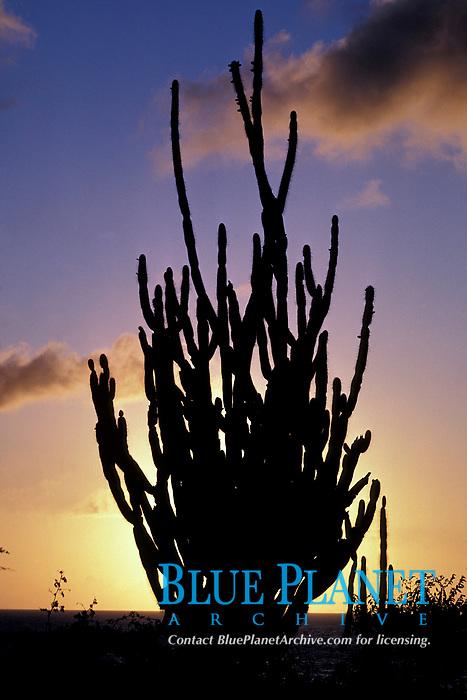 candle cactus at sunset, Karpata, Bonaire Netherland Antilles (Dutch ABC Islands) (Caribbean, Atlantic)