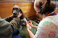 FAO JANET TOMLINSON, DAILY MAIL PICTURE DESK<br />Pictured: A dog receives acupuncture treatment by vet Joanna Evans (R) Wednesday 23 November 2016<br />Re: The Dog House in the village of Talog, Carmarthenshire, Wales, UK