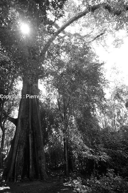 Centennial tree<br />  on Kaoh Trong<br /> island near Kratie, Cambodia,<br /> October 2020.