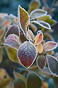 Autumn hoar frost on blueberry foliage, October.
