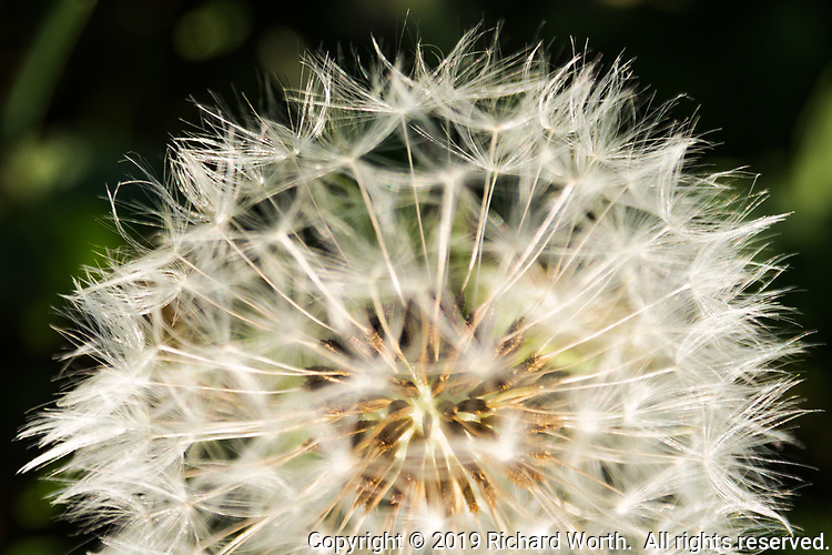 Seed head, puff ball - a dandelion has gone to seed creating a multitude of seeds attached to fluffy parachutes.