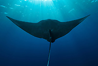giant oceanic manta ray, Mobula birostris, formerly Manta birostris, near surface at Roca Partida in the Socorro Islands, Mexico, Pacific Ocean