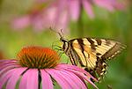 Seeling Farm, Trout Run, PA.  Swallowtail butterfly