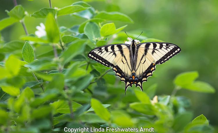 Eastern Tiger Swallowtai