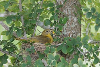 Summer Tanager, Piranga rubra, female in nest with young, Willacy County, Rio Grande Valley, Texas, USA, June 2006