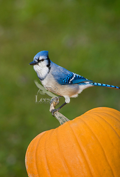 Blue Jay (Cyanocitta cristata) resting on top of Halloween pumpkin.  Nova Scotia. Canada.