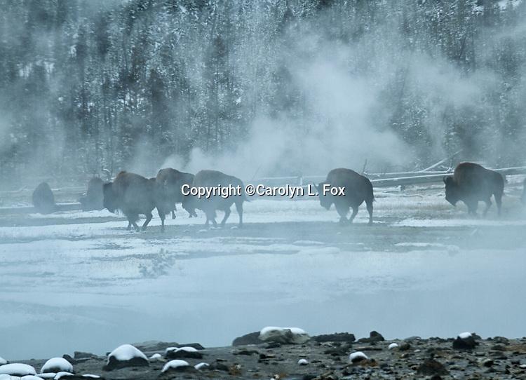 Bison walk through steam near a hot pool in Yellowstone.