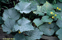 DC31-005b  Powdery Mildew - on cucumber - Erysiphe cichoracearum
