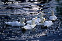 DG07-012z  Pekin Duck - immature ducks swimming