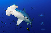 Scalloped hammerhead shark, Sphyrna lewini, at cleaning station with king angelfish or passer angelfish, Holacanthus passer, Malpelo, Columbia, Pacific Ocean
