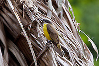 Social Flycatcher, Quirigua, Guatemala