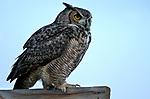 An owl hunts at sunset in Gardnerville, Nev., on Wednesday, Jan. 31, 2018. <br /> Photo by Cathleen Allison/Nevada Momentum