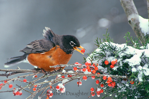 Robin in winter snow eating red holly berry sitting on evergreen branch