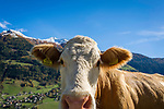 Oesterreich, Kaernten, Moelltal bei Grosskirchheim: neugierige Kuh erkundet die Kamera des Fotografen | Austria, Carinthia, Valley Moelltal near Grosskirchheim: curious cow approaching the photographer's camera