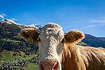 Oesterreich, Kaernten, Moelltal bei Grosskirchheim: neugierige Kuh erkundet die Kamera des Fotografen | Austria, Carinthia, Valley Moelltal near Grosskirchheim: curious cow approaching the photographer's camera