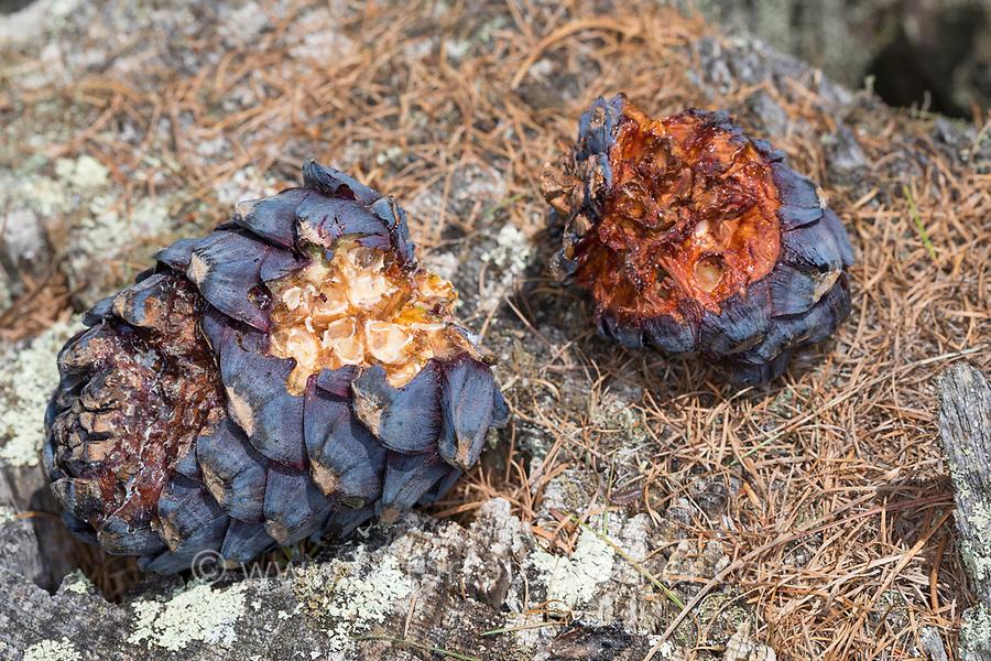 Tannenhäher hat Zirbenzapfen aufgehackt, Zapfen, Zirbe, Zirben-Zapfen, Tannen-Häher, Nucifraga caryocatactes, Nutcracker, spotted nutcracker, Eurasian nutcracker, le Cassenoix moucheté, Zirbel-Kiefer, Zirbelkiefer, Zirbel, Zirbe, Arve, Pinus cembra, Arolla Pine, Swiss pine, Swiss Stone Pine, Austrian stone pine, Stone pine, Le pin cembro, le pin des Alpes, l'arol, l'arole, l'arolle, l'arve, l'auvier, le pin arolle, le tinier
