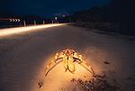 Robber crab feeds on dead red crab at night<br /> Birgus latro