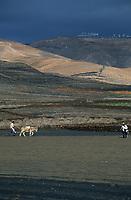 Europe/Espagne/Canaries/Lanzarote/Env de Guatiza : Travaux champêtres- labour avec un ane