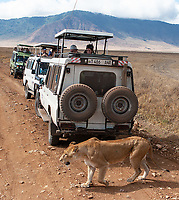 A lioness passes by safari vehicles in the Ngorongoro Crater.