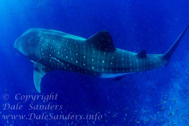 A giant Whale Shark (Rhincodon typus) swims underwater near Darwin Island in the Galapagos Islands of Ecuador.