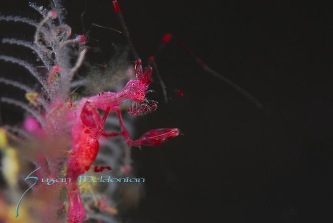 Pink Skeleton Shrimp