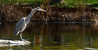 Great Blue Heron, Photographed in Penticton, British Columbia Canada