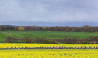Picture by Alex Whitehead/SWpix.com - 29/04/2016 - Cycling - 2016 Tour de Yorkshire, Stage 1: Beverley to Settle - Yorkshire, England - The peloton in action near Knaresborough.