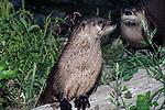 River Otter resting on wood log near rivers edge