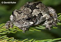 1219-1001  Eastern Gray Treefrog (Grey Tree Frog), Hyla versicolor  © David Kuhn/Dwight Kuhn Photography