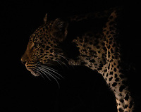 We had some excellent leopard sightings during our visits to Kruger and MalaMala Game Reserve.