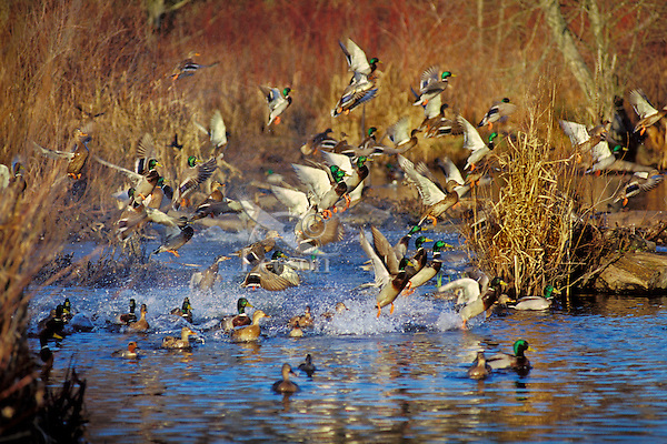 Mallard Ducks flushing or jumping.  Late Fall.  Pacific Northwest.