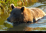 Alaskan Coastal Brown Bear Crossing Creek at Sunset, Silver Salmon Creek, Lake Clark National Park, Alaska