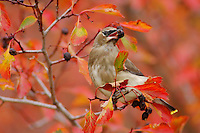 Cedar Waxwing, Bombycilla cedrorum, young on hawthorn with fallcolors, Grand Teton NP,Wyoming, September 2005
